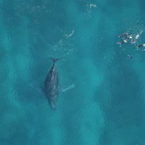 humpback-whale-and-swimmers
